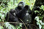Male and female mountain gorillas, Parc des Virungas, Democratic Republic of Congo