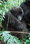 Mountain gorilla in the rain, Parc des Virungas, Democratic Republic of Congo