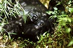 Mountain gorilla, , Parc des Virungas, Democratic Republic of Congo