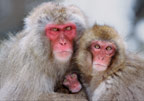 Snow monkey (Japanese macaque) family, Jigokudani National Park, Japan