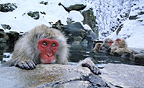 Snow monkeys (Japanese macaques), Jigokudani National Park, Japan