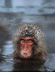 Snow monkey (Japanese macaque) in the hot springs, Jigokudani National Park, Japan