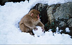 Snow monkey (Japanese macaque) with snowball, Japan