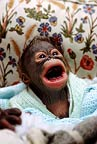 Baby sumatran orangutan, born in captivity, being hand reared after rejection by his mother, Monkey World, Dorset, UK.