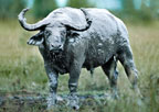 African buffalo covered with mud, Queen Elizabeth Park, Uganda