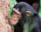 Chimpanzee eating termites