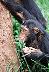 Chimpanzees using sticks as tools to fish for termites, Uganda