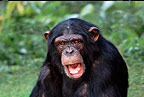 Chimpanzee (captive)