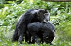 Chimpanzees mating (captive)