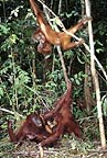 Two young Bornean orangutans with mother and baby, Borneo