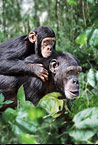 Chimpanzee mother and young (captive)