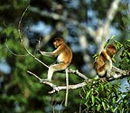 Proboscis monkeys in tree, Borneo