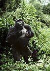 Silverback mountain gorilla beating his chest Rwanda.