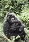 Mother and baby mountain gorilla, Rwanda.