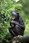 Bonobo feeding with young (captive)