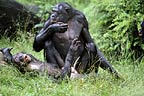 Bonobo male and female about to mate (captive)