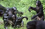 Mating pair of bonobos being disturbed by a jealous male (captive)