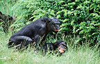 Bonobos mating (captive)