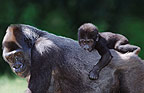 Mother and baby gorillas (captive)