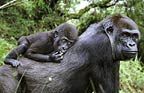 Mother and baby Western lowland gorilla (captive)