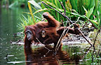 Mother and baby Bornean orangutan drinking, Tanjung Puting National Park, Borneo