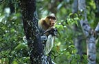 Female proboscis monkey and baby ,Borneo