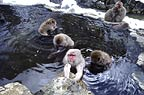 Snow monkeys (Japanese macaques) bathing in hot springs, Jigokudani National Park, Japan