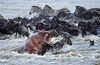 Hippopotamus with zebras and wildebeest crossing Mara River during migration, Kenya