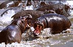 Hippos fighting, Masai Mara, Kenya
