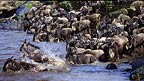 Wildebeest crossing Mara River during migration, Kenya
