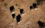 African elephants casting shadows, photographed from the air, Amboseli National Park, Kenya