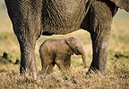 African elephant and calf, Masai Mara, Kenya