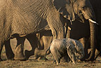 African elephants with week-old calf, Masai Mara, Kenya