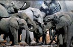 African elephant herd drinking at waterhole, Etosha National Park, Namibia