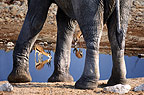 Springboks and African elephant at waterhole, Etosha National Park, Namibia