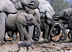 African elephant herd and warthog at waterhole, Etosha National Park, Namibia