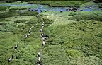 Aerial of African elephants following paths to swamp, Amboseli National Park, Kenya