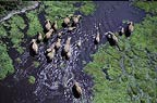 Aerial of African elephant herd in swamp, Amboseli National Park, Kenya