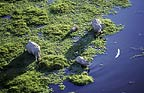 Aerial of African elephants in swamp, Amboseli National Park, Kenya