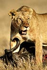 African lioness with kill, Masai Mara, Kenya