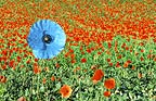 Blue poppy amongst field of red poppies (Conceptual composite image)