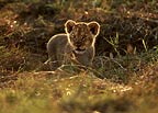 African lion cub in the early morning, Masai Mara, Kenya