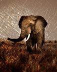 African elephant against backdrop of elephant hide (conceptual composite image)