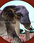 African elephant seen through rifle sight (conceptual composite image)