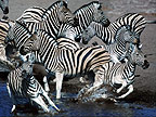 Zebras disturbed by predator at waterhole, Etosha, Namibia