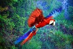 Scarlet macaw flying (captive)