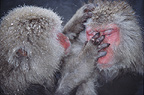 Snow monkeys (Japanese macaques) grooming, Jigokudani National Park, Japan
