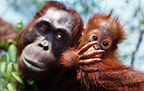 Mother and baby Bornean orangutan, Borneo