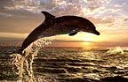 Bottlenose dolphin at sunset, South Africa