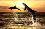 Bottlenose dolphins at sunset, South Africa